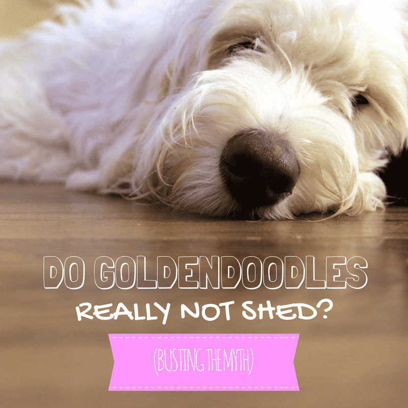 Do Goldendoodles Shed? Busting the Myth That They
