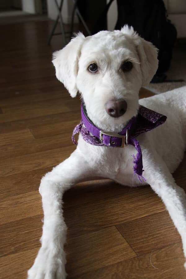 Hot Grooming Style Alert! The Shaved Goldendoodle