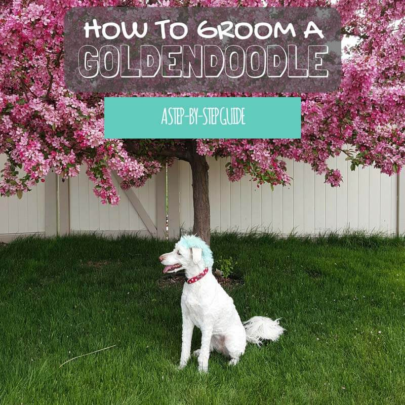 Goldendoodle Grooming at Home: a Step-by-Step Guide!