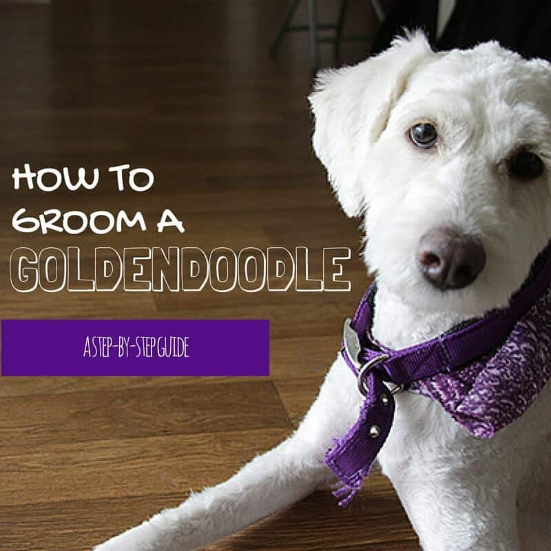 At-Home Grooming / Goldendoodle / Grooming / Tutorial