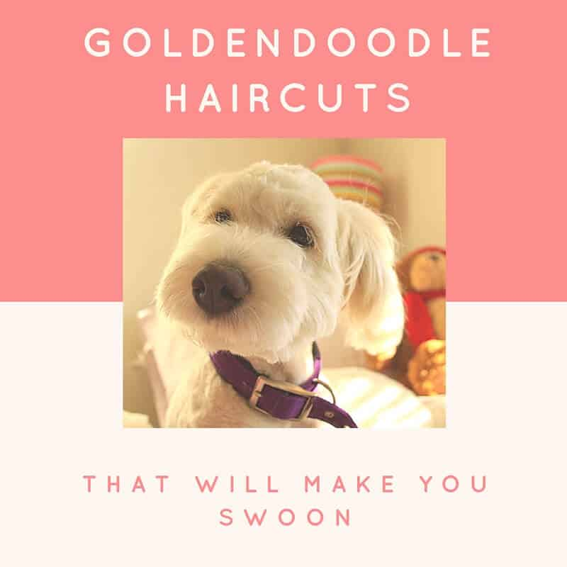 Short Style Goldendoodle | newhairstylesformen2014.com