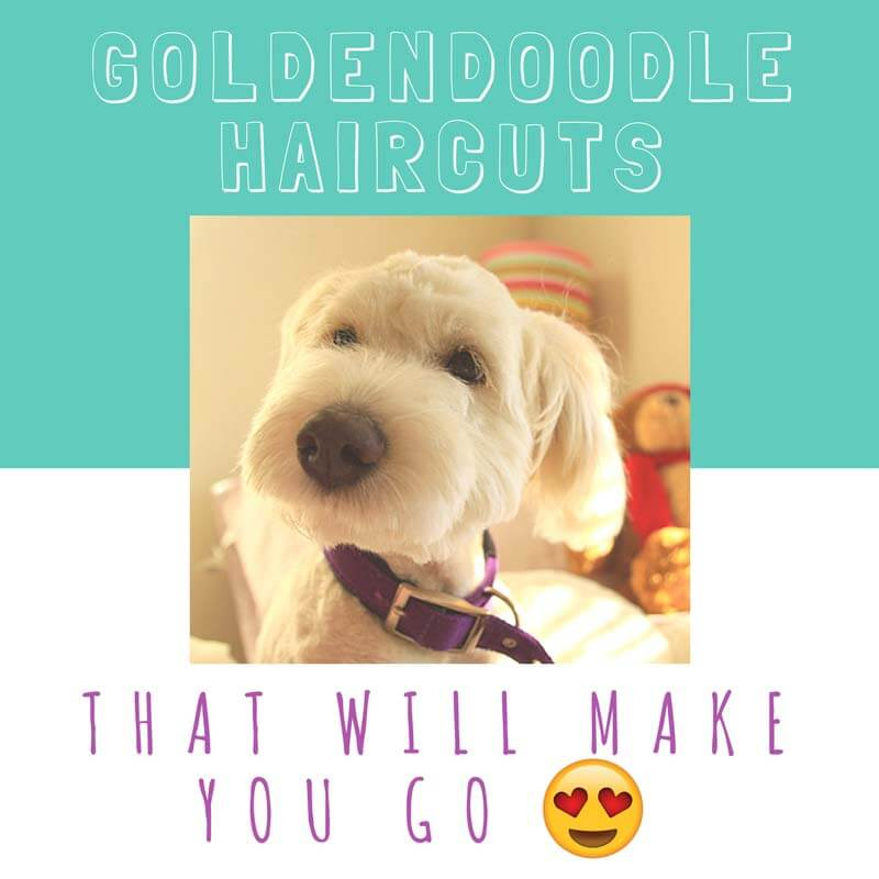 Goldendoodle Haircuts That Will Make You Swoon Lots Of