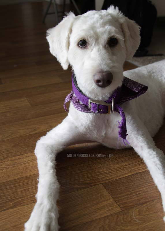 Goldendoodle Haircuts That Will Make You Swoon
