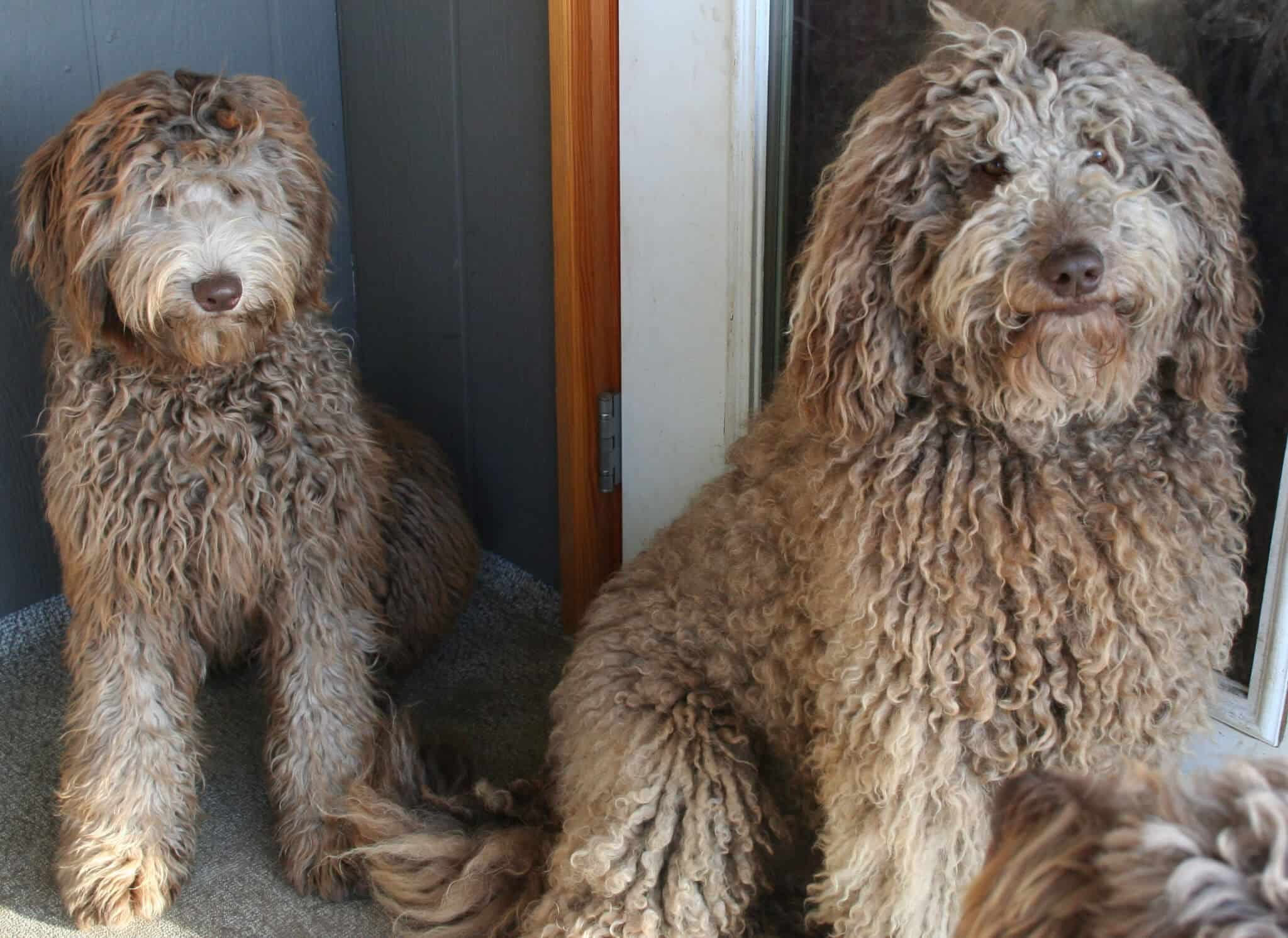 Badass Goldendoodle Grooming Styles For Your Pup