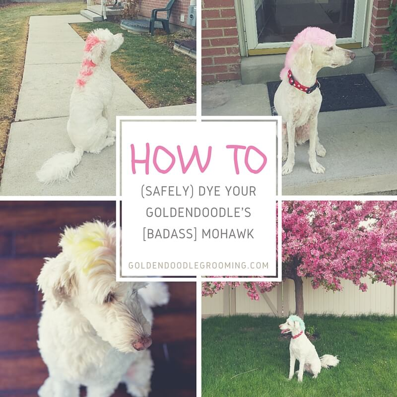 how to dye goldendoodle haircut