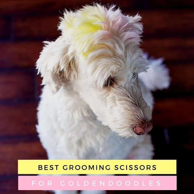 Best Grooming Scissors for Goldendoodle Cuts