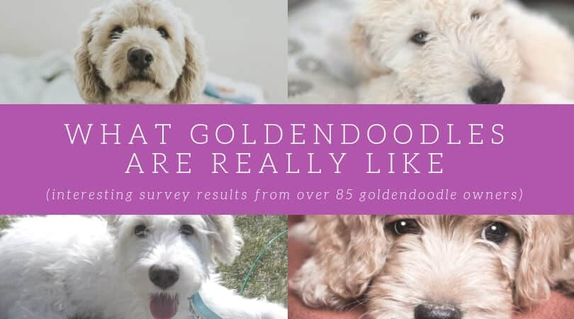 Goldendoodle Breeders Directory - Search by State (US)