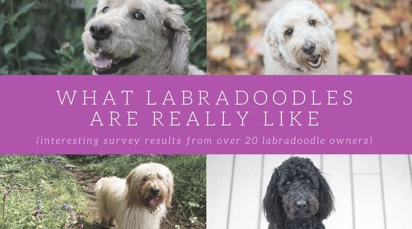 20 Labradoodle Owners Tell All What These Loving Dogs Are