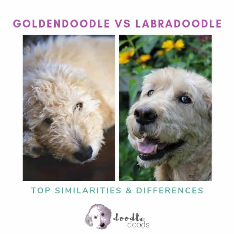Goldendoodle Vs Labradoodle Showdown Top Similarities And
