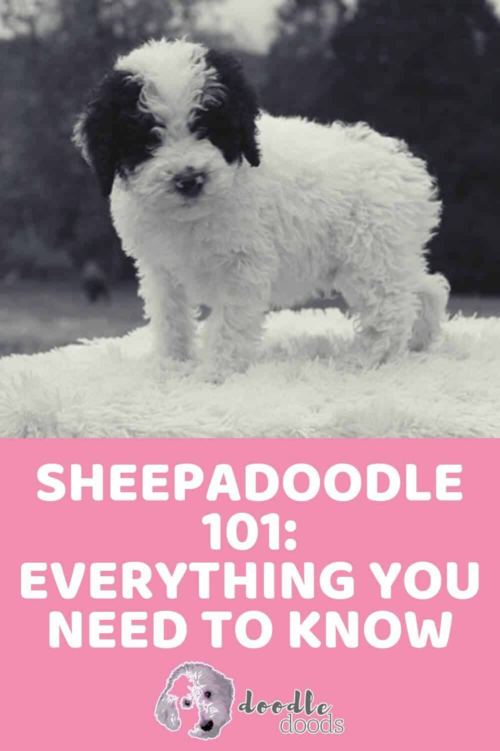 Sheepadoodle 101 Everything You Need To Know Doodle Doods