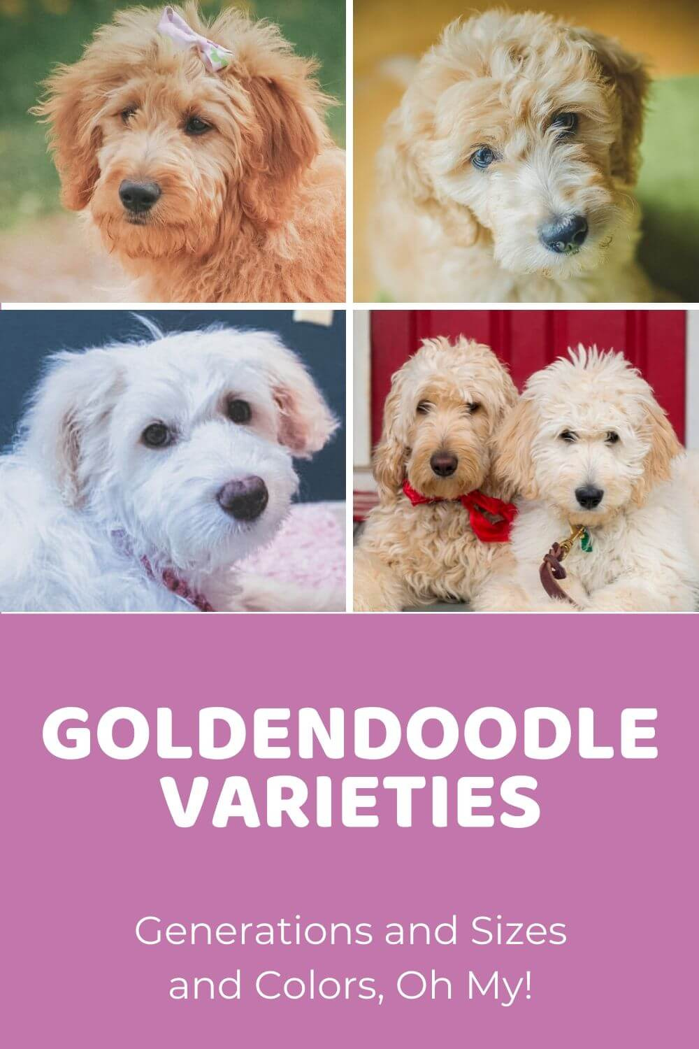 Goldendoodle Varieties Generations Sizes And Colors Oh My